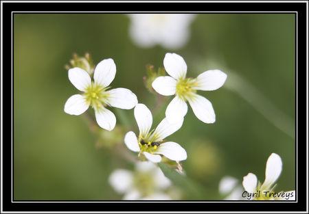 2010_05_16_Fleurs_de_stellaires__2_
