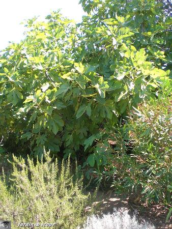 Figuier • Ficus carica