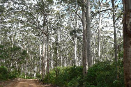 karri_tree_forest_2