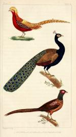 Gravures_animaux__Buffon_6201_-_le_paon