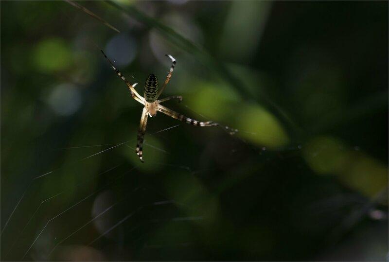 Galuchet araign argiope fond sombre 150717