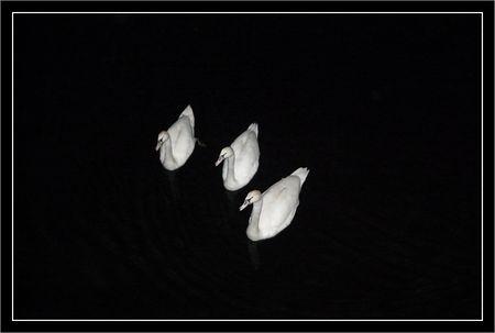 cygnes_nuit_3__121109