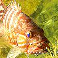 Sarran en rockfishing