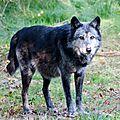 Loup Noir de l'Ouest canadien - Canis lupus occidentalis (1)