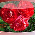 balanicole_2015_5_juin_03bis_rosier rouge