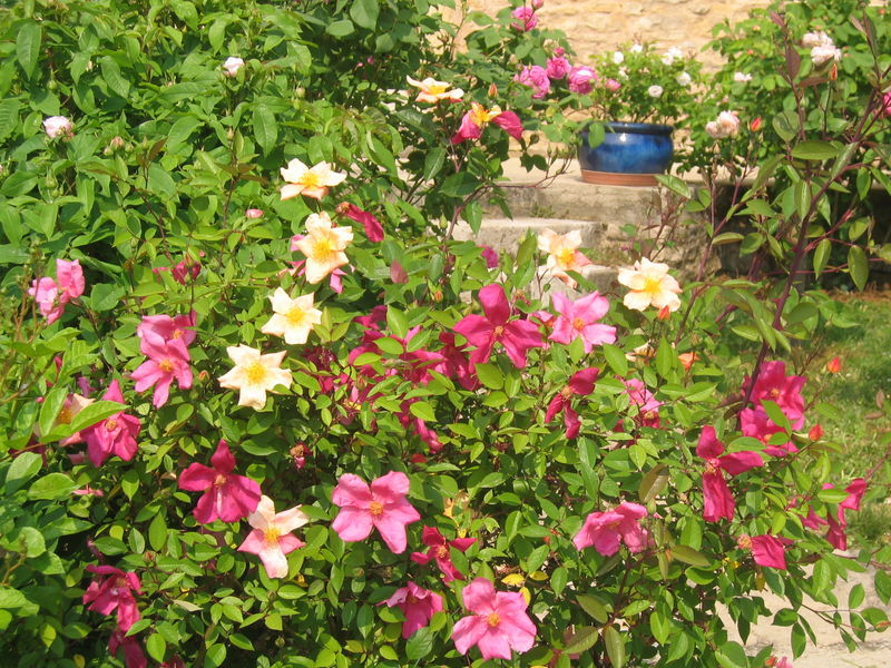 Rose ancienne : 'Rosa Mutabilis'