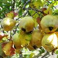 Le coing, fruit du cognassier