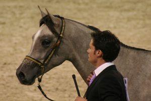 Championnat du monde du cheval arabe le 11 12 10 (5)