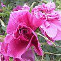 roses-du-soir (5)
