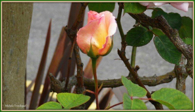 Bouton rose rose 300415