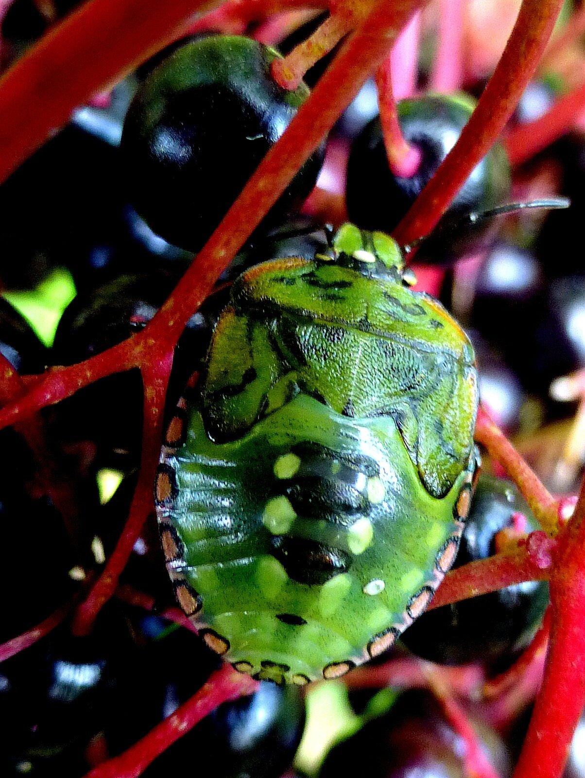punaise verte juvénile sur baies de sureau