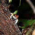 Pristimantis zeuctotylus - Hylode zeuctotyle