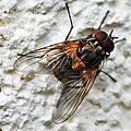 Mydaea corni =(scutellaris) • Famille des Muscidae