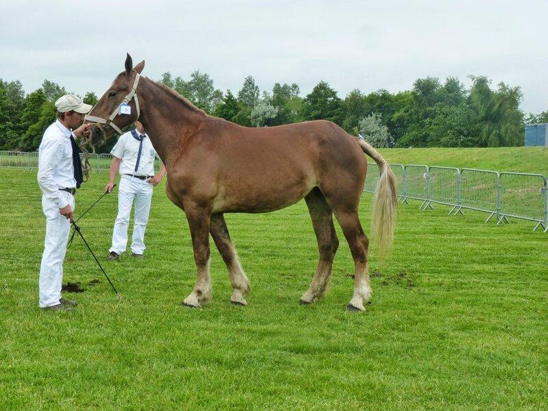 Atila du Boncoin - 17 Juin 2014 - Concours d'élevage local - Bourbourg - 5e (Non Suitées)