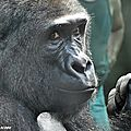 Gorille - Zoo de Beauval