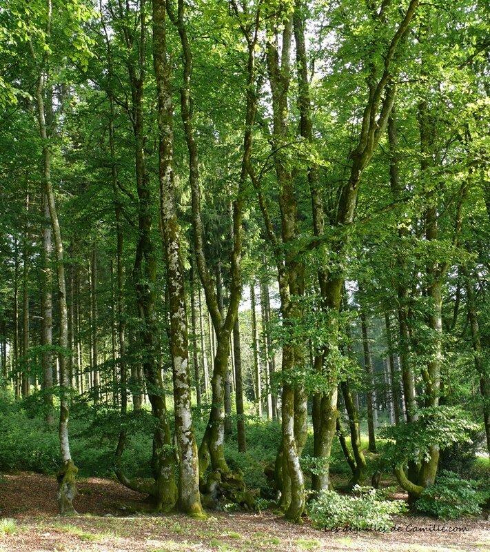 Bibracte arbres