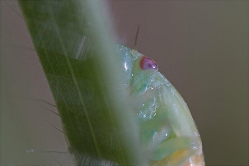 SM mur cicadelle jeune 150518 2 oeil