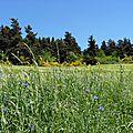Bleuets dans les champs