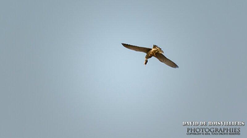Faucon Crécerelle (Falco tinnunculus) et son repas (Mulot ? rat ? ...)