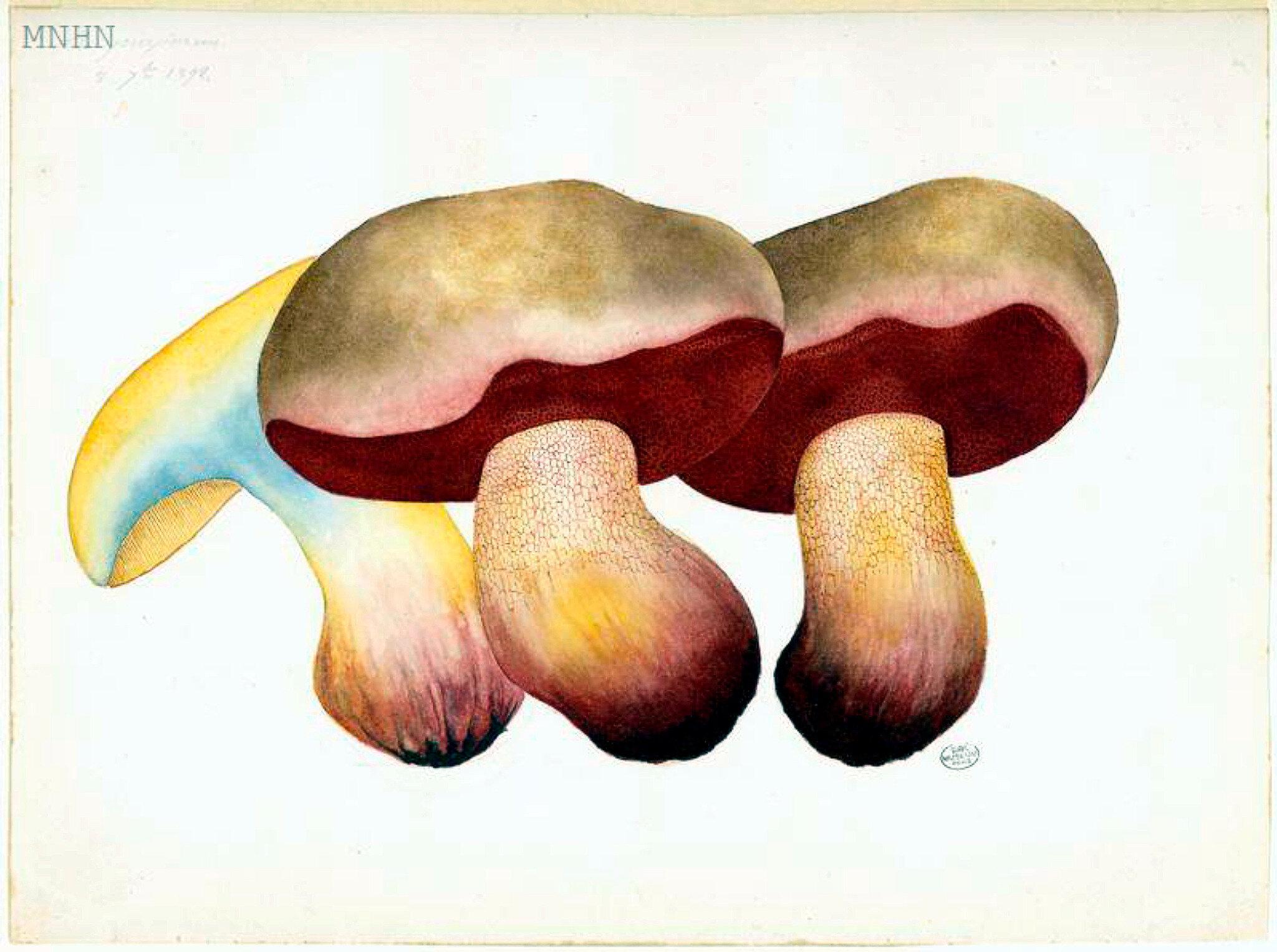 39 Boletus purpureus b