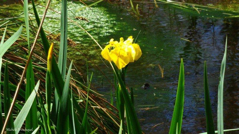 Iris aquatiques 1704167