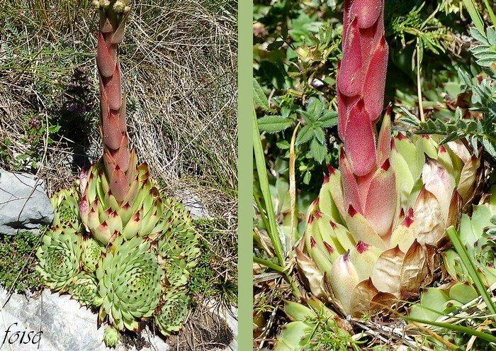 produisant une robuste hampe florale d'environ 20 cm de haut