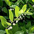 Sceau-de-salomon (polygonatum multiflorum)