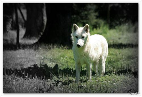 Loup arctique (Canis lupus arctos)