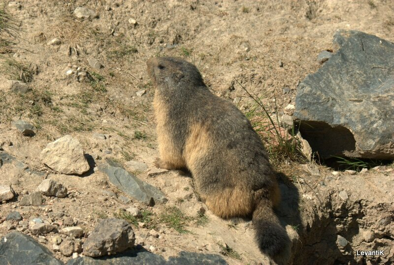 Marmotte des Alpes - Marmota marmota (1)