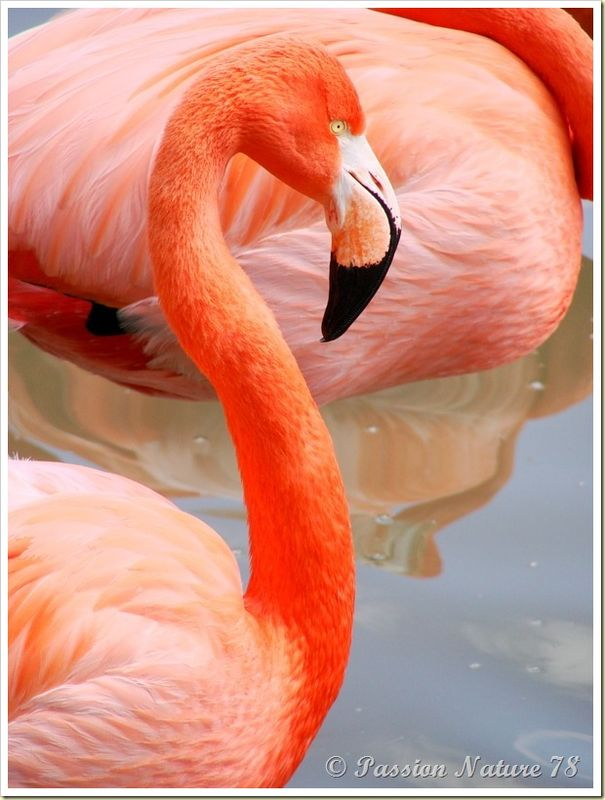 Les flamants roses (18)