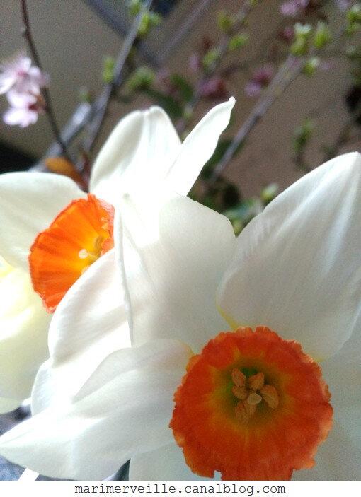 narcisses - marimerveille - printemps