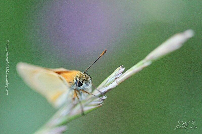 Hesperidae - Thymelicus lineolata?