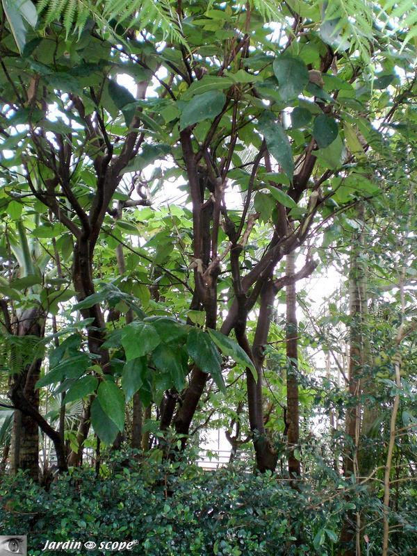 CIMG1445_Ficus