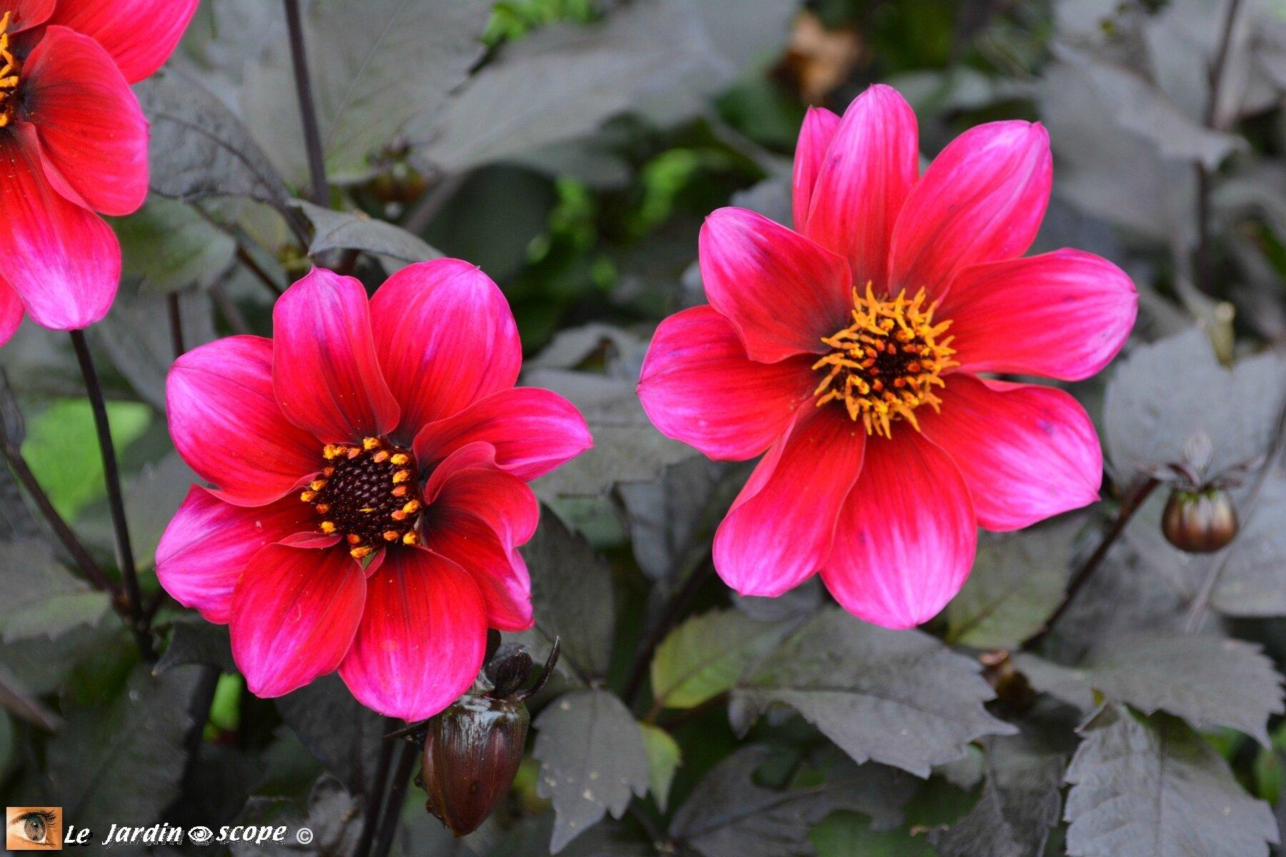 Dahlia-Simply-Red-(LR)