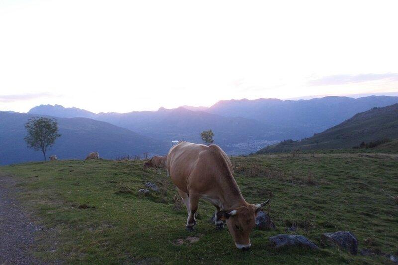 vache-pyrenees