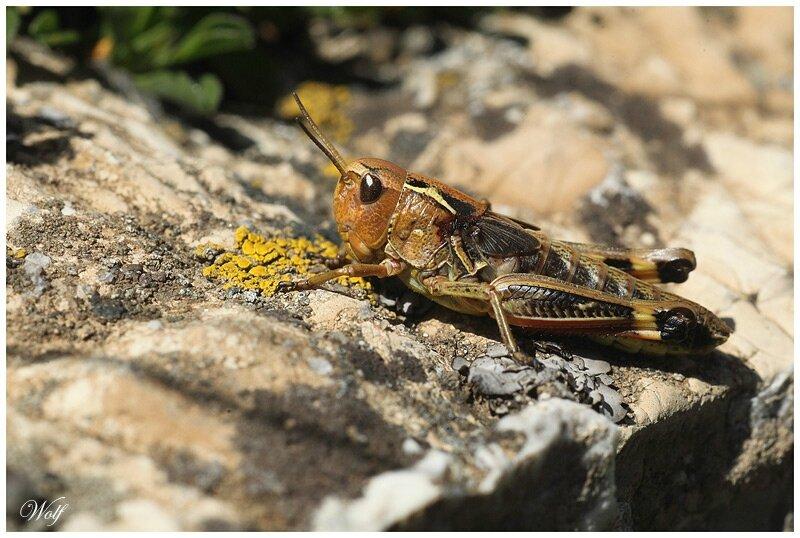 arcyptera-fusca-16-02