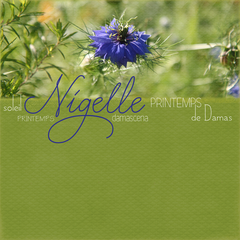 Fleur bleue_Nigelle