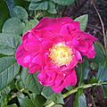 rosa gallica officinalis (jardin)