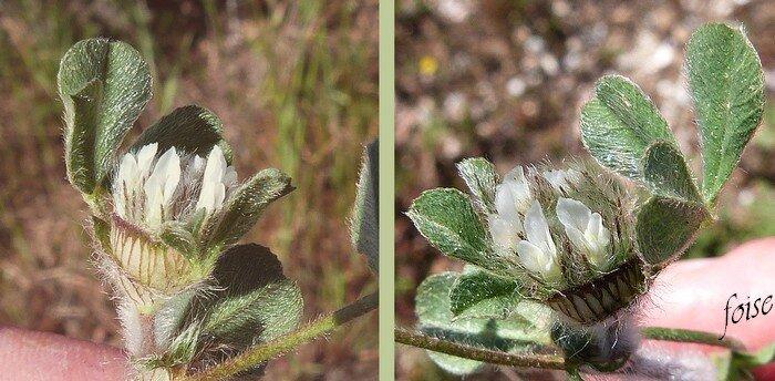 largement involucrées par les stipules très dilatées des 3 feuilles florales
