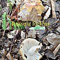 Russula foetens