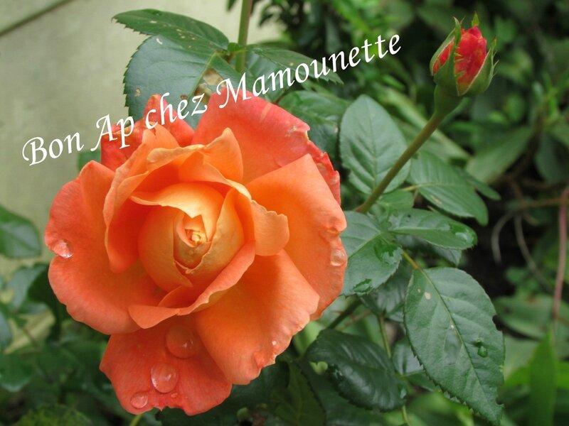 Roses au jardin octobre 2013 012