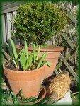 buis__tulipe_et_cordeau