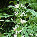 leonurus-japonicus-alba