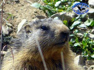 Marmotte Mai 2012 Manigod Col de Merdassier 108
