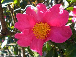 Camellia_Sasanqua_Vicomte_de_Noaille