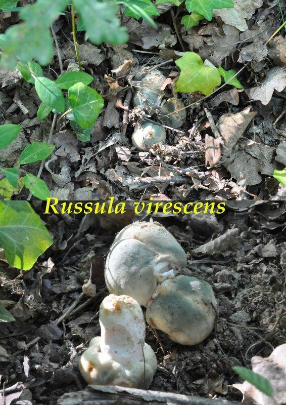 Russula virescens