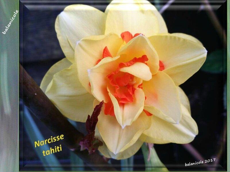 balanicole_2017_03_le printemps des vivaces_27_narcisse01