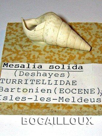 Mesalia_Solida_77