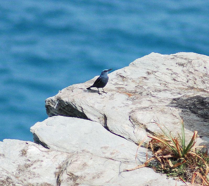 Monticole bleu (mâle)
