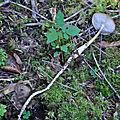 Hymenopellis radicata (3)